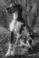 black and white photo of harlequin Great Dane