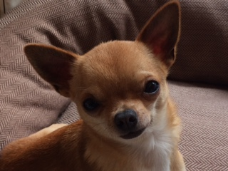 photo of tan coloured chihuahua with saucy expression